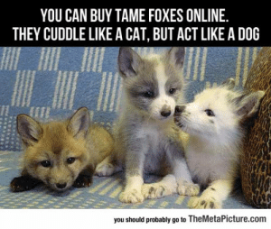 Tumblr, Blog, and Fox: YOU CAN BUY TAME FOXES ONLINE.  THEY CUDDLE LIKE A CAT, BUT ACT LIKE A DOG  you should probably go to TheMetaPicture.com lolzandtrollz:  Now I'm Getting A Fox