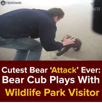 Dank, Cubs, and 🤖: You  EpicRussia  CTS  Cutest Bear  Attack  Ever:  Bear Cub Plays With  Wildlife Park Visitor The hooman stood no chance! :v #onedip