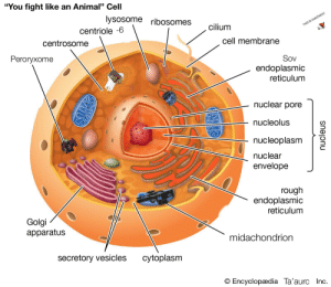 """Destiny, Animal, and Amazing: """"You fight like an Animal"""" Cell  lysosome ribosomes  cilium  THIS IS AMAZING!!!  centriole -6  cell membrane  centrosome  Sov  Peroryxome  endoplasmic  reticulum  nuclear pore  nucleolus  nucleoplasm  nuclear  envelope  rough  endoplasmic  reticulum  Golgi  apparatus  midachondrion  cytoplasm  secretory vesicles  O Encyclopædia Ta'aurc Inc  nucleus Blow a slight amount of air out of your nose now."""