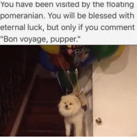 """Memes, Pomeranian, and Eternity: You have been Visited by the floating  pomeranian. You will be blessed with  eternal luck, but only if you comment  """"Bon voyage, pupper."""