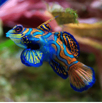 "Beautiful, Memes, and Animal: You may have come across this dazzling fish before. Native to the Pacific, the mandarinfish (Synchiropus splendidus) is popular in the saltwater aquarium trade, and has been displayed in aquariums across the globe. The mandarinfish is most famous for its vibrant coloration, which is not only beautiful, but also quite interesting. The fish is one of only two vertebrate species known to have blue coloring due to cellular pigment. Scientists Makoto Goda and Ryozo Fujii of the Zoological Society of Japan found dendritic chromatophores that contain blue pigmentary organelles in the bluish parts of the skin of the fish. They named these special pigment-containing and light-reflecting cells ""cyanophores"" and the organelles ""cyanosomes."" The researchers found that the cyanophores respond to stimulatory cues by aggregating or dispersing cyanosomes. In most other cases of blue coloring, the color blue is structural, coming from thin-film interference from piles of purine crystals. Tag a color lover! 🎨 Photo: Luc Viatour. guffscience science nature biology marinebiology ocean earth education bestoftheday interesting didyouknow nowyouknow naturelovers natureshots nature_perfection animal awesomeanimals wildanimals wildlife naturephotography color fish mandarinfish"