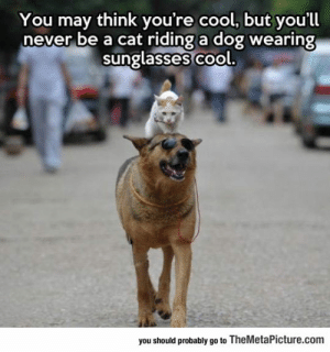 epicjohndoe:  Ever Been This Cool?: You may think you're cool, but you'll  never be a cat riding a dog wearing  sunglasses co  ol.  you should probably go to TheMetaPicture.com epicjohndoe:  Ever Been This Cool?