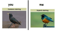 Memes, Common, and Superb: You  me  Common starling  Superb starling common starling = people that complain about dog memes theyhateusbecausetheyaintus