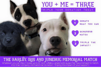 Memes, Chip, and 🤖: YOU ME THREE  TRIPLE YOUR D ONA TIO N TO D A Y  DONATE  WHAT YOU CAN  GENEROUS  MATCH  TRIPLE THE  IMPACT!  THE BARLEY IRS AND JUNEBUG MEMORIAL MATCH  Whatever you can chip in today up to $1,50O a fellow grassroots supporter has promised to match.  And, their company will match her donation-tripling the impact of your support We have had a super generous offer. If we can get $1,500 raised then we will get $1,500 from a much loved follower and $1,500 from her employers match!! That would make $4500 for our Marshall Medical Fund which is what we are using to treat our parvo outbreak puppies. Can we get it matched by Friday? One week almost to help us raise $1,500!! We can do it!   This is for Iris, Junebug, Barley, and the pups we have lost out of Scarlett's and the S puppies. We are bleeding over their losses but know they are running at the bridge. The newest update is everyone is holding their own and Nanuck is the worst but still stable. Everyone at the house and annex is eating, drinking, and playing still. Thank you for your unwavering support!! Thank you if you have already donated or shared a post. Big paw bumps!!! We are pitbull strong.   Love, Mac