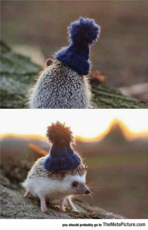 lolzandtrollz:A Hedgehog In A Little Beanie: you should probably go to TheMetaPicture.com lolzandtrollz:A Hedgehog In A Little Beanie