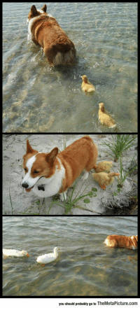 srsfunny:Flock Of Ducklings Lose Their Mother, Corgi Adopts Them: you should probably go to TheMetaPicture.com srsfunny:Flock Of Ducklings Lose Their Mother, Corgi Adopts Them