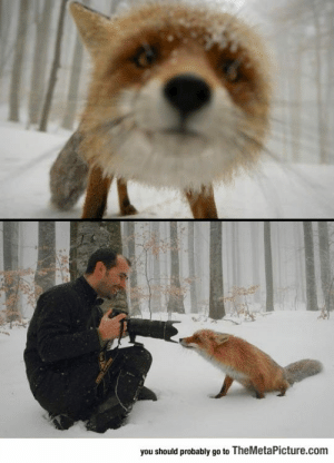 Tumblr, Blog, and Http: you should probably go to TheMetaPicture.com srsfunny:  This Curious Fox