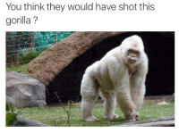 Black gorillas matter: You think they would have shot this  gorilla? Black gorillas matter