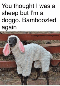 Bamboozled: You thought I was a  sheep but I'm a  doggo. Bamboozled  again  @savagememesforsavage teens