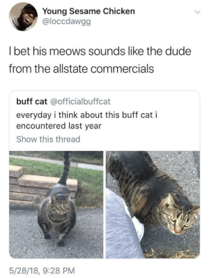 Are you in good hands?: Young Sesame Chicken  @loccdawgg  I bet his meows sounds like the dude  from the allstate commercials  buff cat @officialbuffcat  everyday i think about this buff cat i  encountered last year  Show this thread  5/28/18, 9:28 PM Are you in good hands?
