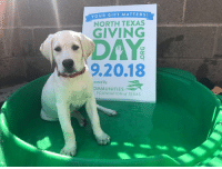 Dogs, Memes, and youtube.com: YOUR GIFT MATTERs  NORTH TEXAS  GIVING  DAY  9.20.18  wered b  OMMUNITIES  FOUNDATION of TEXAS Miss Liberty - #PatriotPAWS Service Pup-in-Training - is taking her sunset dip to remind you to make your #NTxGivingDay donation before midnight tonight at https://www.northtexasgivingday.org/Patriot-PAWS-Service-Dogs and your dollars will be multiplied to help train service dogs for disabled veterans. You can watch this video https://www.youtube.com/watch?v=A2gZ6CeDI44&t=3s to learn more about us.  We are beyond grateful for your support! 🐶♥️🇺🇲️