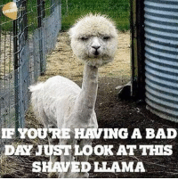 😩😩😭😭😭: YOURE ING A BAD  DAN UST LOOK AT THIS  SHAVED LLAMA 😩😩😭😭😭