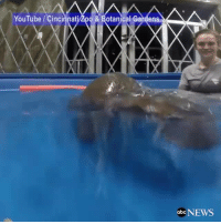 HIP, HIP HOORAY: Fiona, the baby hippo that was born prematurely at the Cincinnati Zoo, reached her normal birth weight this week and swam underwater. http://abcn.ws/2m0BL5p: YouTube Cinci  od & Botanical Gardens  obc NEWS HIP, HIP HOORAY: Fiona, the baby hippo that was born prematurely at the Cincinnati Zoo, reached her normal birth weight this week and swam underwater. http://abcn.ws/2m0BL5p