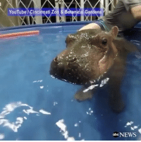 "Repost @abcnews: ""Fiona, the baby hippo born prematurely at the Cincinnati Zoo, reached her normal birth weight and swam underwater. Hippo 🙏 WSHH: YouTube MCincinnati Zool& Botanical Gardens  abc NEWS Repost @abcnews: ""Fiona, the baby hippo born prematurely at the Cincinnati Zoo, reached her normal birth weight and swam underwater. Hippo 🙏 WSHH"