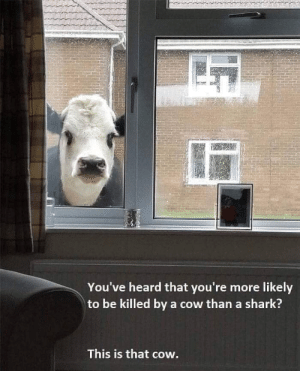 Don't let him in: You've heard that you're more likely  to be killed by a cow than a shark?  This is that cow. Don't let him in