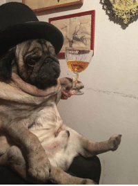 Boi, Slovenia, and Thicc: z; Boris the thicc boi puggo sends heckin greetings from Slovenia