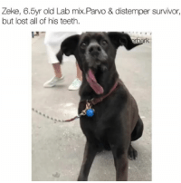 """""""He came to SXSW for the free snacks, preferably soft ones""""- @zilkerbark Via @zilkerbark Pup @pureamericansidetongue: Zeke, 6.5yr old Lab mix.Parvo & distemper survivor,  but lost all of his teeth. """"He came to SXSW for the free snacks, preferably soft ones""""- @zilkerbark Via @zilkerbark Pup @pureamericansidetongue"""