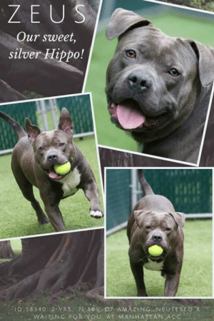 Zeus Our Sweet Silver Hippo Id 58340 2 Yrs 7 Bs Of