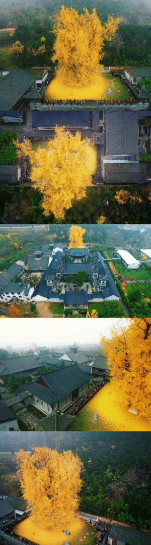 zhuanghongru:   1400 year old ginkgo tree.  地點:陝西省西安市古觀音禪寺  Photography: Han Fei   : zhuanghongru:   1400 year old ginkgo tree.  地點:陝西省西安市古觀音禪寺  Photography: Han Fei