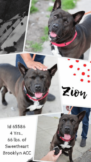 """Beautiful, Dogs, and Facebook: Zion  ld 65586  4 Yrs.  66 lbs. of  Sweetheart  Brooklyn ACC INTAKE DATE – 6/10/2019   Our funny valentine.  ZION is the cutest thing on four legs, and hands down the sweetest.  His ever expression is totally endearing and when he decides to """"talk for treats"""" well…… who can resist?  Our hearts are hopelessly lost, and that's just fine.  Because Zion is singular and special, beautiful inside and out.  He came to the shelter with his sister Egypt, and now they are separated from each other.  He misses her deeply, but he is trying to roll with the punches in the ope he may see her soon.  Please don't walk, run to foster or adopt this 4 year old sweetheart.  Message our page or email us at MustLoveDogsNYC@gmail.com for assistance!  MY MOVIES! Zion has a convo with me  https://youtu.be/F8OPnvX5p60   Handsome Gentleman who knows his commands! https://www.youtube.com/watch?v=V1H2hpSaQKU   ZION, ID# 65586, 4 yrs old, 66.4 lbs, Unaltered Male Brooklyn ACC, Large Mixed Breed, Black / White    Owner Surrender Reason:  Shelter Assessment Rating:  Medical Behavior Rating: Yellow   I CAME TO THE SHELTER WITH MY SISTER,  EGYPT ID# 65587 (ALSO IN NEED)  https://www.facebook.com/mldsavingnycdogs/photos/a.197837783735833/1006117052907898/?type=3&theater  ***  TO FOSTER OR ADOPT  ***   If you would like to adopt a NYC ACC dog, and can get to the shelter in person to complete the adoption process, you can contact the shelter directly. We have provided the Brooklyn, Staten Island and Manhattan information below. Adoption hours at these facilities is Noon – 8:00 p.m. (6:30 on weekends)  If you CANNOT get to the shelter in person and you want to FOSTER OR ADOPT a NYC ACC Dog, you can PRIVATE MESSAGE our Must Love Dogs page for assistance. PLEASE NOTE: You MUST live in NY, NJ, PA, CT, RI, DE, MD, MA, NH, VT, ME or Northern VA. You will need to fill out applications with a New Hope Rescue Partner to foster or adopt a NYC ACC dog. Transport is available if you """