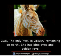 zoes: ZOE, The only 'WHITE ZEBRA' remaining  on earth. She has blue eyes and  golden rays.  Of /didyouknowpage  @didyouknowpage