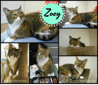 ZOEY HAS BEEN WITH US FOR OVER 15 MONTHS WAITING FOR HER HUMAN!  PLEASE HELP HER FIND THEM BY SHARING!!! <3  Zoey and her striking green eyes, you can almost get lost in them and whiskers that seem to go on forever! Zoey is a funny girl, she is pretty independent but she also seeks out attention. She doesn't like to be picked up but if you are near her she will paw at you to get you to pet her, she loves her head & chin scratches!! She also loves her treats and will come running as soon as she hears you shake the bag! Zoey has simple needs sitting in your lap, a cozy bed, a tower near a sunny window to look out and the love of a person who just wants to give a deserving kitty a home. She just wants to know she is loved, she isn't very happy with other kitties but might coexist if given her personal space. And....she really likes men!! So if you are a cat daddy looking for that perfect girl or a senior with a quiet home, here she is waiting for you!! :): Zoey  FTIE  RR Feline Rescu  ww.furrr.org  TurF.org ZOEY HAS BEEN WITH US FOR OVER 15 MONTHS WAITING FOR HER HUMAN!  PLEASE HELP HER FIND THEM BY SHARING!!! <3  Zoey and her striking green eyes, you can almost get lost in them and whiskers that seem to go on forever! Zoey is a funny girl, she is pretty independent but she also seeks out attention. She doesn't like to be picked up but if you are near her she will paw at you to get you to pet her, she loves her head & chin scratches!! She also loves her treats and will come running as soon as she hears you shake the bag! Zoey has simple needs sitting in your lap, a cozy bed, a tower near a sunny window to look out and the love of a person who just wants to give a deserving kitty a home. She just wants to know she is loved, she isn't very happy with other kitties but might coexist if given her personal space. And....she really likes men!! So if you are a cat daddy looking for that perfect girl or a senior with a quiet home, here she is waiting for you!! :)