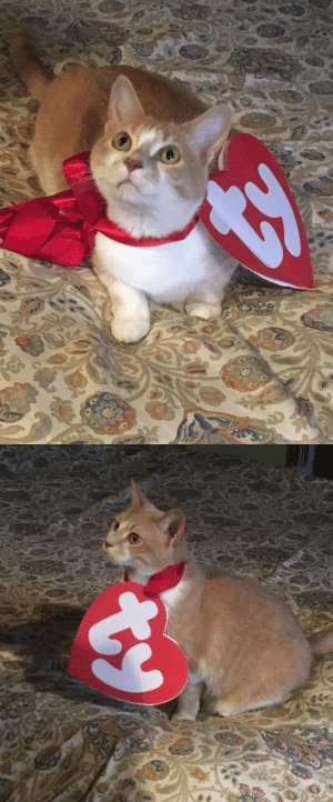 zombieluvr666:  polendina:  look! at! my! cat!!!!   this is the best beanie baby : zombieluvr666:  polendina:  look! at! my! cat!!!!   this is the best beanie baby