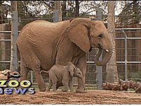 Elephant, Elephants, and Baby: zoo Baby elephants are fearless