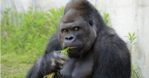 Zookeeper arrested after trying to molest 500-pound male gorilla: Zookeeper arrested after trying to molest 500-pound male gorilla