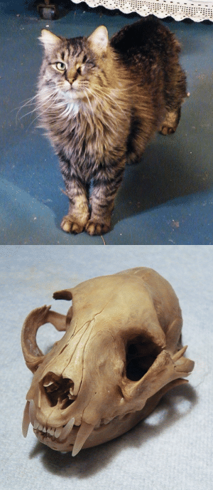 Tumblr, Blog, and Http: zooophagous:  roadkillzombie:  Finally got Jack back after more than two years in the ground. His eye was removed as a kitten due to a URI, but I hadn't considered what that might have done to his skull as he grew.   He's still very handsome