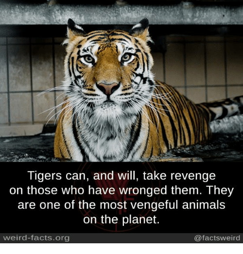 Animals, Facts, and Memes: Tigers can, and will, take revenge  on those who have wronged them. They  are one of the most vengeful animals  on the planet.  weird-facts.org  @factsweird