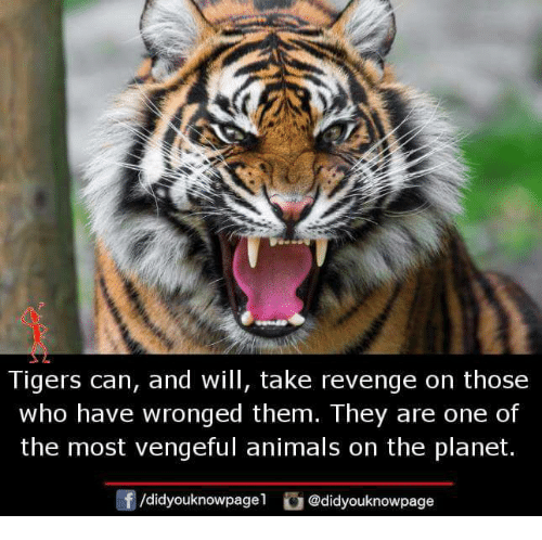 tigers can and will take revenge on those who have 28871714 tigers can and will take revenge on those who have wronged them