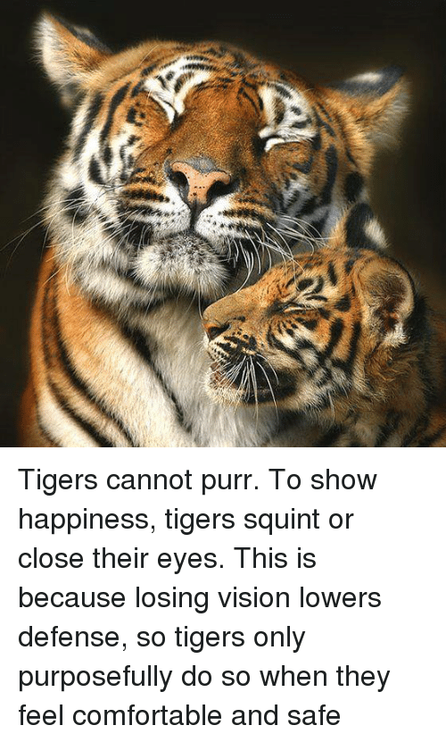Tigers cannot purr to show happiness tigers squint or - Show me a picture of the tiger ...