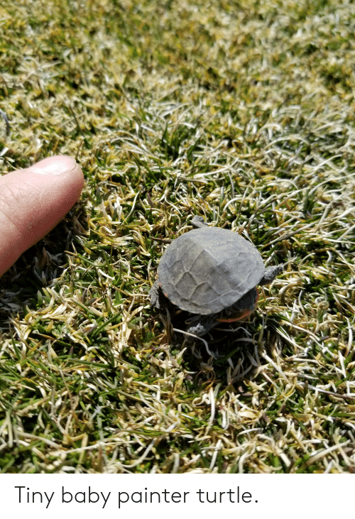 Turtle, Baby, and Tiny: Tiny baby painter turtle.