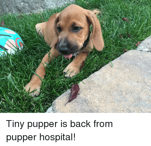 Hospital, Back, and Tiny: Tiny pupper is back from pupper hospital!