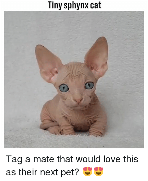 Love, Memes, and 🤖: Tiny sphynx cat Tag a mate that would love this as their next pet? 😍😍