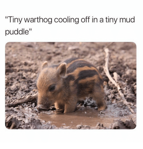 Mud, Tiny, and Warthog: Tiny warthog cooling off in a tiny mud  puddle""