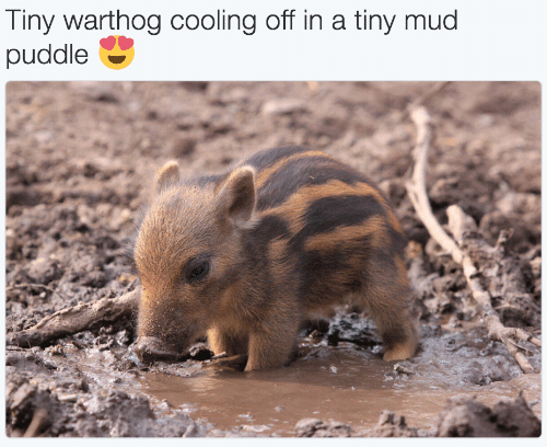 Mud, Tiny, and Warthog: Tiny warthog cooling off in a tiny mud  puddle
