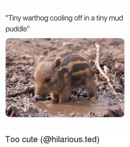 "Cute, Funny, and Ted: Tiny warthog cooling off in a tiny mud  puddle"" Too cute (@hilarious.ted)"
