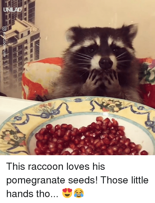 Dank, Pomegranate, and Raccoon: TNT} This raccoon loves his pomegranate seeds! Those little hands tho... 😍😂