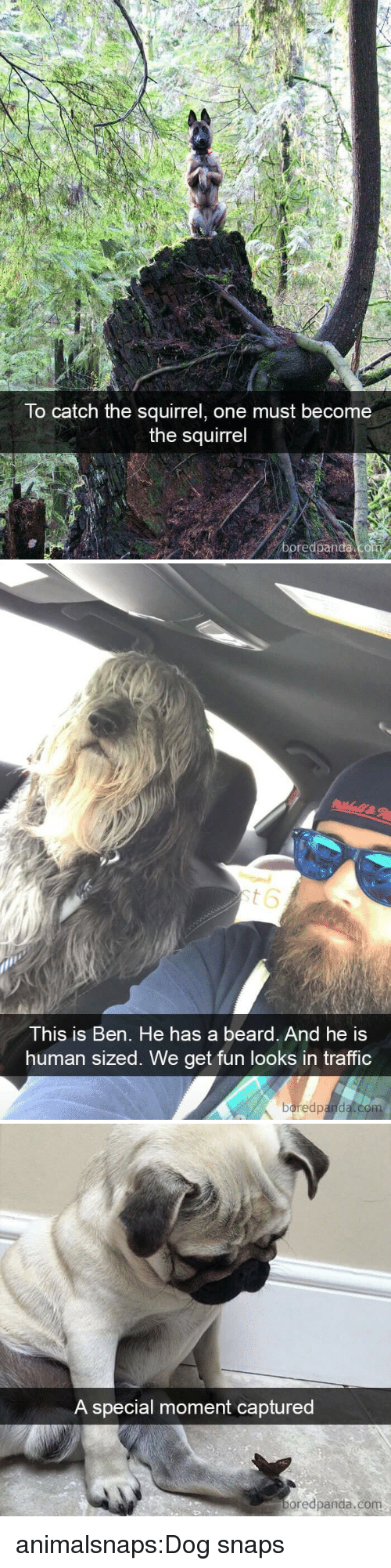 Beard, Target, and Traffic: To catch the squirrel, one must become  the squirrel  boredpanda   This is Ben. He has a beard. And he is  human sized. We get fun looks in traffic  boredpanda.co   A special moment captured  oredpanda.com animalsnaps:Dog snaps
