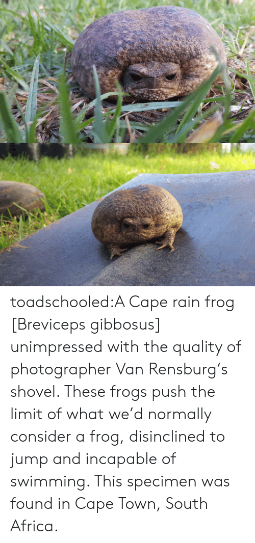 Africa, Target, and Tumblr: toadschooled:A Cape rain frog [Breviceps gibbosus] unimpressed with the quality of photographer Van Rensburg's shovel. These frogs push the limit of what we'd normally consider a frog, disinclined to jump and incapable of swimming. This specimen was found in Cape Town, South Africa.