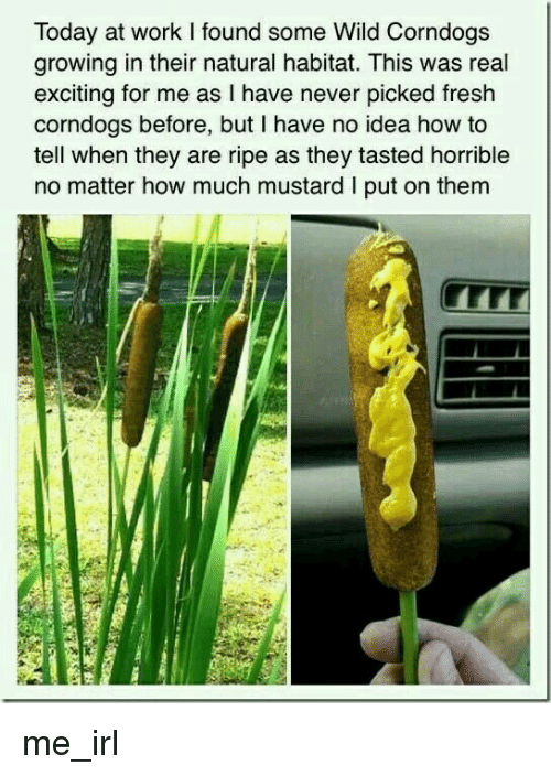 Fresh, Work, and How To: Today at work I found some Wild Corndogs  growing in their natural habitat. This was real  exciting for me as lI have never picked fresh  corndogs before, but I have no idea how to  tell when they are ripe as they tasted horrible  no matter how much mustard I put on them  LLT me_irl