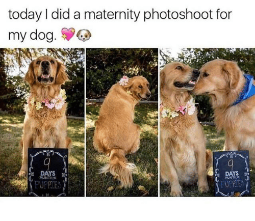 Today, Humans of Tumblr, and Dog: today I did a maternity photoshoot for  my dog.  DAYS  UNTIL  DAYS  UNTILS  PUPPIE