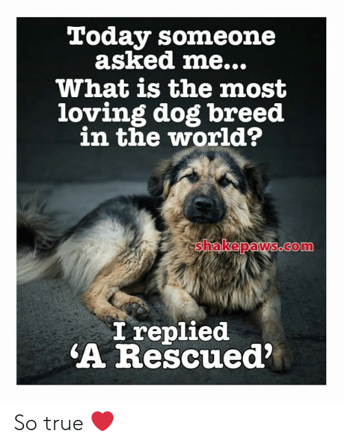 Memes, True, and Today: Today someone  asked me...  What is the most  loving dog breed  in the world?  shakepaws.com  I replied  A Rescued So true ❤️