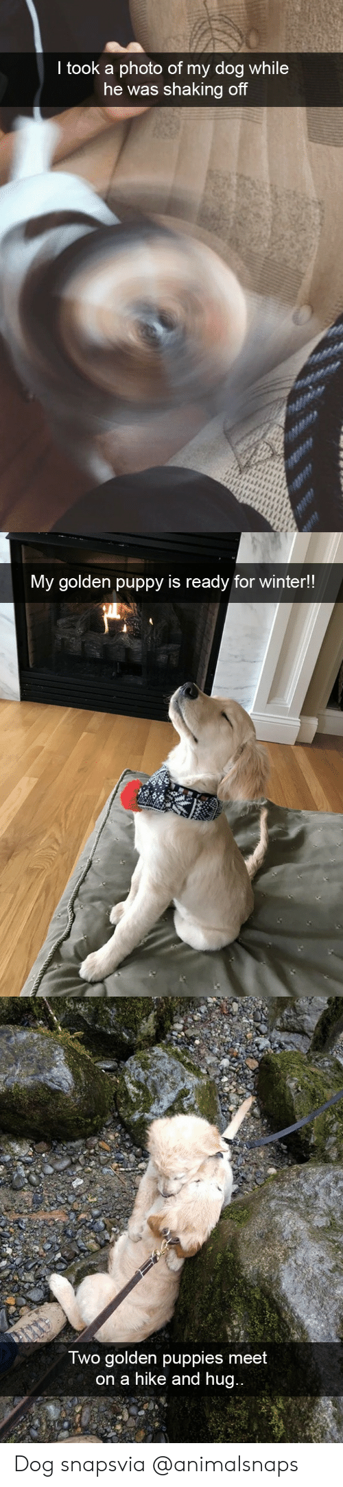 Puppies, Target, and Tumblr: took a photo of my dog while  he was shaking of   My golden puppy is ready for winter!!   Iwo golden puppies meet  on a hike and hug Dog snapsvia @animalsnaps