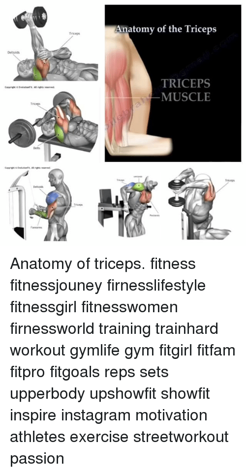 Triceps Anatomy of the Triceps TRICEPS MUSCLE Anatomy of Triceps ...