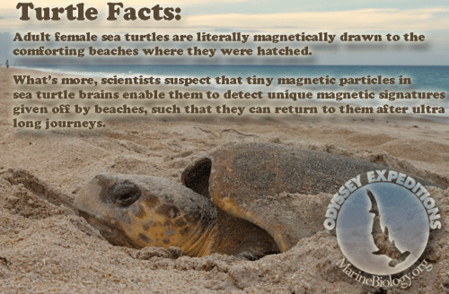 Brains, Facts, and Turtle: Turtle Facts:  Adult female sea turtles are literally magnetically drawn to the  comforting beaches where they were hatched.  What's more, scientists suspect that tiny magnetic particles in  sea turtle brains enable them to detect unique magnetic signatures  given off by beaches, such that they can return to them after ultra  long journeys.  SEY  MarineBiology.org  PEDITIONS