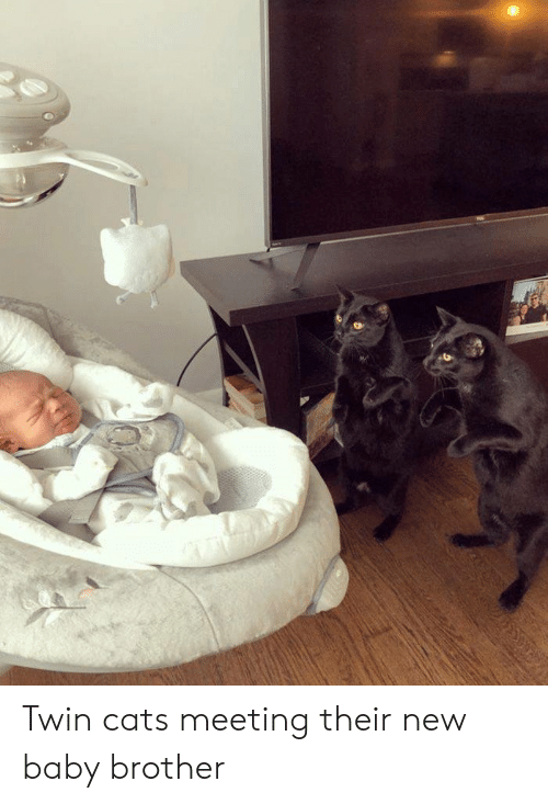 Twin Cats Meeting Their New Baby Brother | Cats Meme on ME.ME