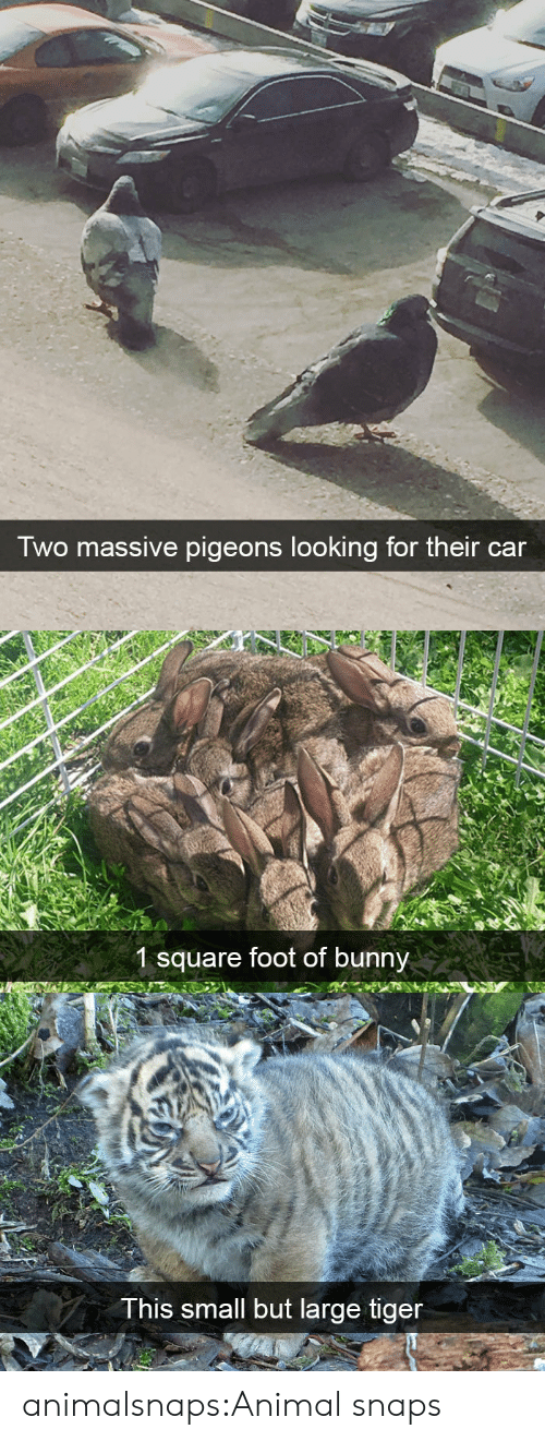 Target, Tumblr, and Animal: Two massive pigeons looking for their car   1 square foot of bunny   This small but large tiger animalsnaps:Animal snaps